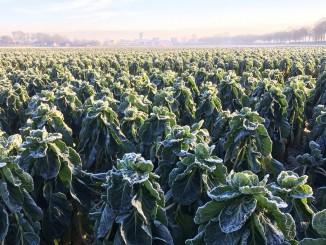 Spruitenveld in de winter