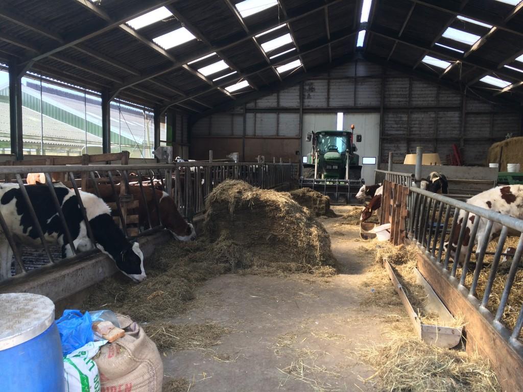 Koeien bij Boerderij van Winden